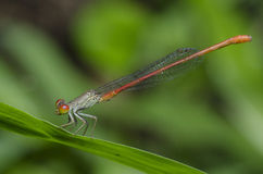 Dragonfly, Dragonflies of Thailand Ceriagrion praetermissum. Dragonfly rest on green leaf stock photography