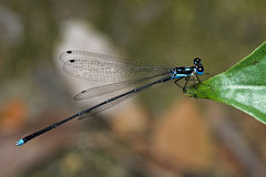 Dragonfly, Dragonflies of Thailand Coeliccia didyma. Dragonfly rest on green grass leaf stock image