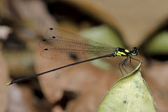 Dragonfly, Dragonflies of Thailand Coeliccia yamasakii. Dragonfly rest on green grass leaf royalty free stock photo