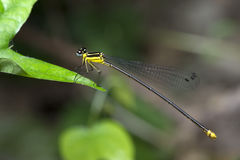 Dragonfly, Dragonflies of Thailand Coeliccia yamasakii. Dragonfly rest on green grass leaf royalty free stock image