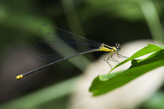Dragonfly, Dragonflies of Thailand Coeliccia yamasakii. Dragonfly rest on green grass leaf royalty free stock photography