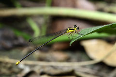 Dragonfly, Dragonflies of Thailand Coeliccia yamasakii. Dragonfly rest on green grass leaf royalty free stock photos