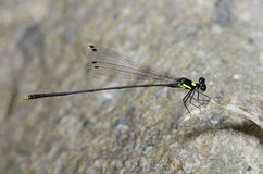 Dragonfly, Dragonflies of Thailand Coeliccia yamasakii. Dragonfly rest on green grass leaf stock photography