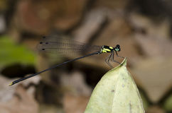 Dragonfly, Dragonflies of Thailand Coeliccia yamasakii. Dragonfly rest on green grass leaf stock photos