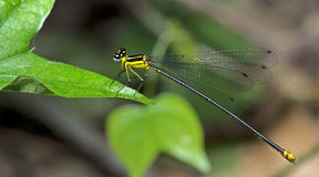 Dragonfly, Dragonflies of Thailand Coeliccia yamasakii. Dragonfly rest on green leaf royalty free stock photography