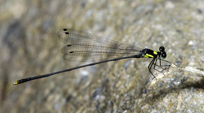 Dragonfly, Dragonflies of Thailand Coeliccia yamasakii. Dragonfly rest on stone stock photos