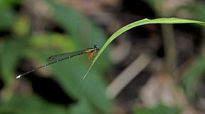 Dragonfly, Dragonflies of Thailand Copera vittata. Dragonfly rest on green grass leaf stock image