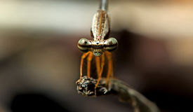 Dragonfly, Dragonflies of Thailand Copera vittata. Dragonfly rest on twigs royalty free stock photos