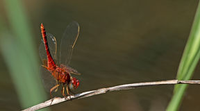 Dragonfly, Dragonflies of Thailand Crocothemis servilia. Dragonfly rest on twigs royalty free stock photography