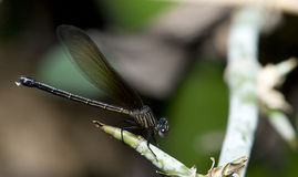 Dragonfly, Dragonflies of Thailand Euphaea masoni. Dragonfly rest on spiny bamboo stock photo
