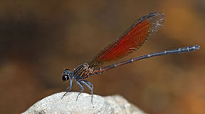 Dragonfly, Dragonflies of Thailand Euphaea ochracea. Dragonfly rest on stone royalty free stock photography
