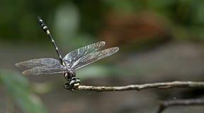Dragonfly, Dragonflies of Thailand Gomphidia kruegeri kruegeri. Dragonfly rest twigs royalty free stock photo