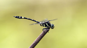 Dragonfly, Dragonflies of Thailand Gomphidia kruegeri kruegeri. Dragonfly rest twigs stock images