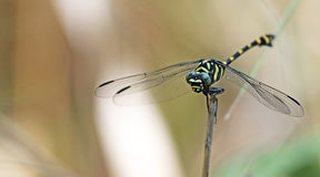 Dragonfly, Dragonflies of Thailand Ichtinogomphus decoratus. Dragonfly rest twigs stock images