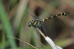 Dragonfly, Dragonflies of Thailand Ichtinogomphus decoratus. Dragonfly rest twigs stock photos