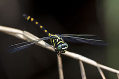 Dragonfly, Dragonflies of Thailand Ichtinogomphus decoratus. Dragonfly rest twigs royalty free stock photo