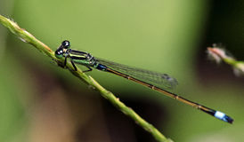 Dragonfly, Dragonflies of Thailand Ischnura senegalensis. Dragonfly rest on green grass leaf stock images