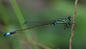 Dragonfly, Dragonflies of Thailand Ischnura senegalensis. Dragonfly rest on twigs stock image