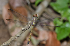 Dragonfly, Dragonflies of Thailand Lathriacista asiatica. Dragonfly rest on twigs stock image