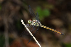 Dragonfly, Dragonflies of Thailand Lathriacista asiatica. Dragonfly rest on twigs royalty free stock photos