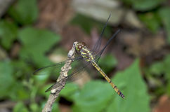 Dragonfly, Dragonflies of Thailand Lathriacista asiatica. Dragonfly rest on twigs royalty free stock images