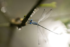 Dragonfly, Dragonflies of Thailand Lestes praemorsus. Dragonfly rest twigs stock images