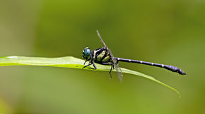 Dragonfly, Dragonflies of Thailand Microgomphus chelifer. Dragonfly rest on green leaf stock image