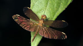 Dragonfly, Dragonflies of Thailand Neurothemis fulvia. Dragonfly rest on green leaf stock photos