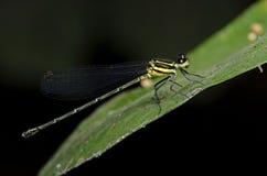 Dragonfly, Dragonflies of Thailand Onychargia atrocyana. Dragonfly rest on green leaf stock photos