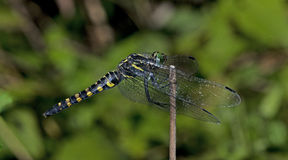 Dragonfly, Dragonflies of Thailand Onychothemis testacea. Dragonfly rest twigs royalty free stock photo