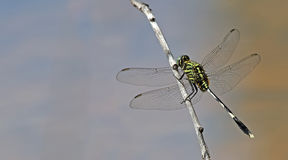 Dragonfly, Dragonflies of Thailand Orthetrum sabina. Dragonfly rest twigs stock images