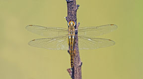 Dragonfly, Dragonflies of Thailand  Pantala flavescens. Dragonfly rest twigs Stock Photos