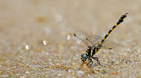 Dragonfly, Dragonflies of Thailand Paragomphus capricornis. Dragonfly rest sand stock photography