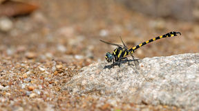 Dragonfly, Dragonflies of Thailand Paragomphus capricornis. Dragonfly rest stone royalty free stock image