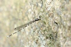 Dragonfly, Dragonflies of Thailand Protosticta khaosoidaoensis. Dragonfly rest on rock stock photos