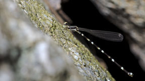 Dragonfly, Dragonflies of Thailand Protosticta khaosoidaoensis. Dragonfly rest on rock royalty free stock image