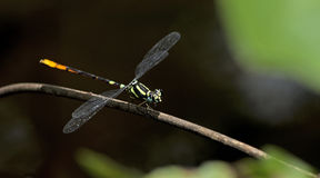 Dragonfly, Dragonflies of Thailand Rhinagrion viridatum. Dragonfly rest on twigs royalty free stock photography