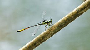 Dragonfly, Dragonflies of Thailand Rhinagrion viridatum. Dragonfly rest on twigs royalty free stock photo