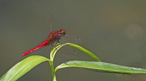 Dragonfly, Dragonflies of Thailand Rhodothemis rufa. Dragonfly rest on green leaf stock image