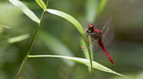 Dragonfly, Dragonflies of Thailand Rhodothemis rufa. Dragonfly rest on green leaf royalty free stock images