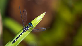 Dragonfly, Dragonflies of Thailand Tetrathemis platyptera. Dragonfly rest on green grass leaf stock photo