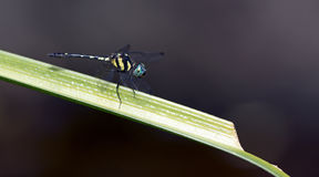 Dragonfly, Dragonflies of Thailand Tetrathemis platyptera. Dragonfly rest on green grass leaf stock image