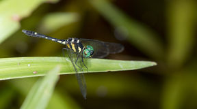 Dragonfly, Dragonflies of Thailand Tetrathemis platyptera. Dragonfly rest on green grass leaf stock images