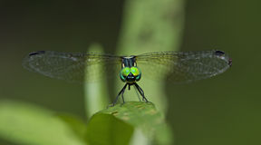 Dragonfly, Dragonflies of Thailand Tetrathemis platyptera. Dragonfly rest on green grass leaf royalty free stock photo