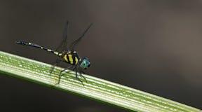 Dragonfly, Dragonflies of Thailand Tetrathemis platyptera. Dragonfly rest on green grass leaf stock photos