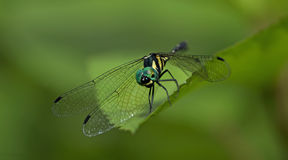 Dragonfly, Dragonflies of Thailand Tetrathemis platyptera. Dragonfly rest on green grass leaf royalty free stock image