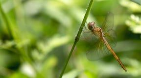 Dragonfly, Dragonflies of Thailand Tholymis tillarga. Dragonfly rest on green grass leaf royalty free stock photos