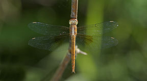 Dragonfly, Dragonflies of Thailand Tholymis tillarga. Dragonfly rest on twigs royalty free stock images