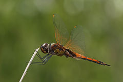 Dragonfly, Dragonflies of Thailand Tramea transmarina. Dragonfly rest twigs royalty free stock images