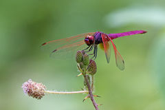 Dragonfly, Dragonflies of Thailand Trithemis aurora. Dragonfly rest twigs royalty free stock image
